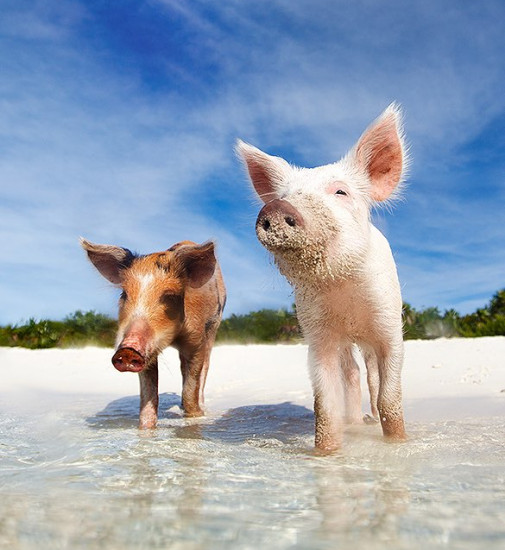 Two pigs on the beacn in Exuma