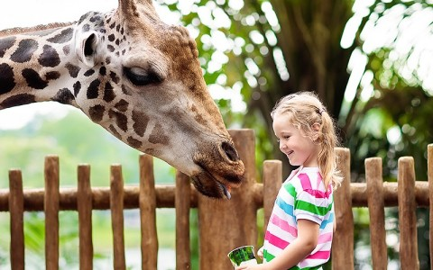 little girl interacting with a giraffe