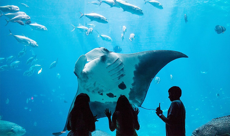 A large sting ray swims up to glass to greet guests at Georgia Aquarium