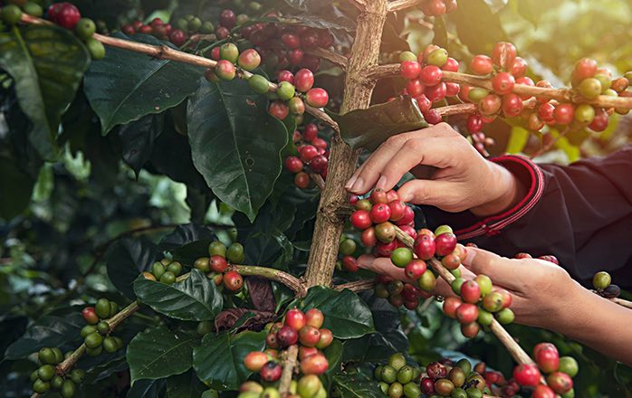hands picking red coffee beans from branch