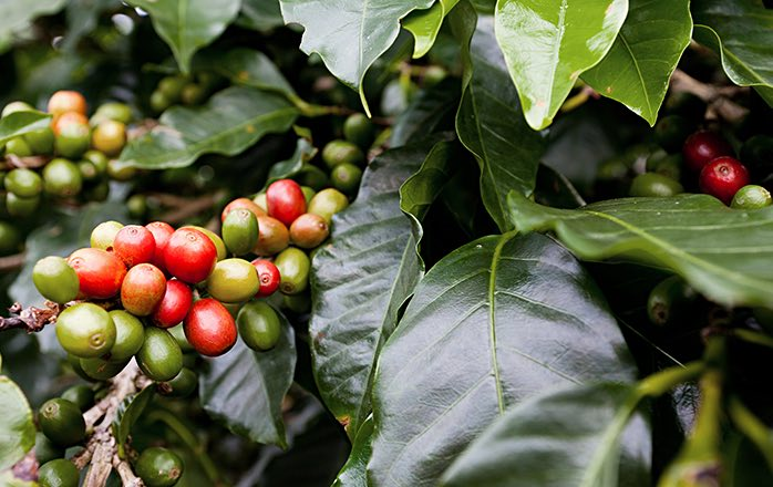 red coffee beans among large green leaves