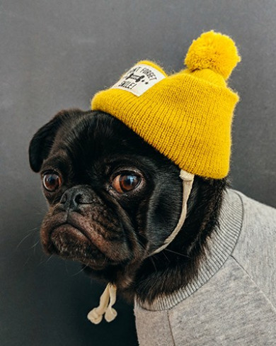 a black pug wearing a sweater and hat