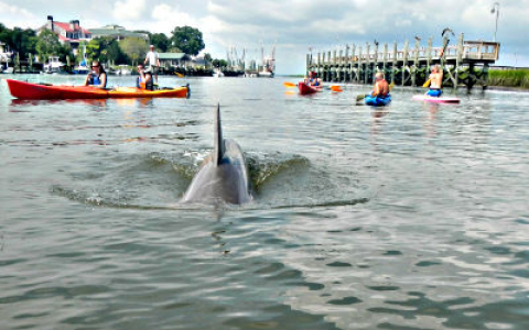 Dolphin swimming through water surrounded by kayakers