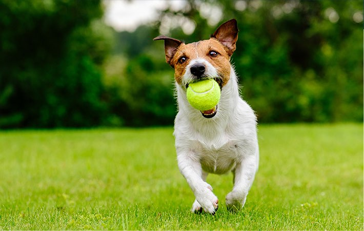 a dog running in the grass with a tennis ball in mouth