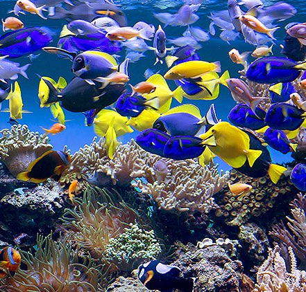 blue and yellow fish swimming over a coral reef in the aquarium
