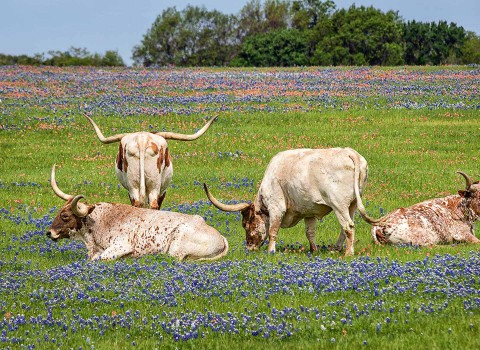 Longhorn cows roaming in a field