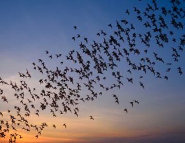 bats in flight
