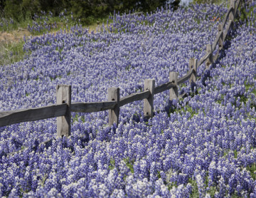 It's All About the Bluebonnets
