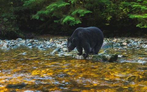 bear looking at river - gallery image