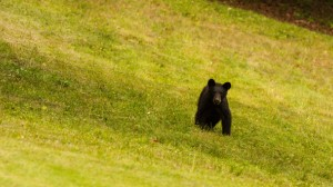 black bear in an open field