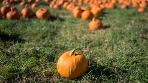 Field with single pumpkin in foreground and many more filling background