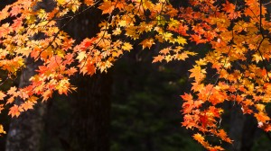 Autumn leaves on trees