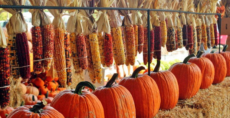 Harvest scene of dried corn and pumpkins in a row