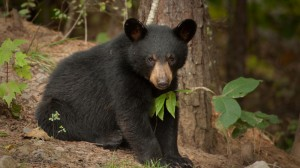 Baby black bear in the woods
